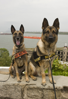 Camilla the Belgian Malinois and Satu the German Shepherd