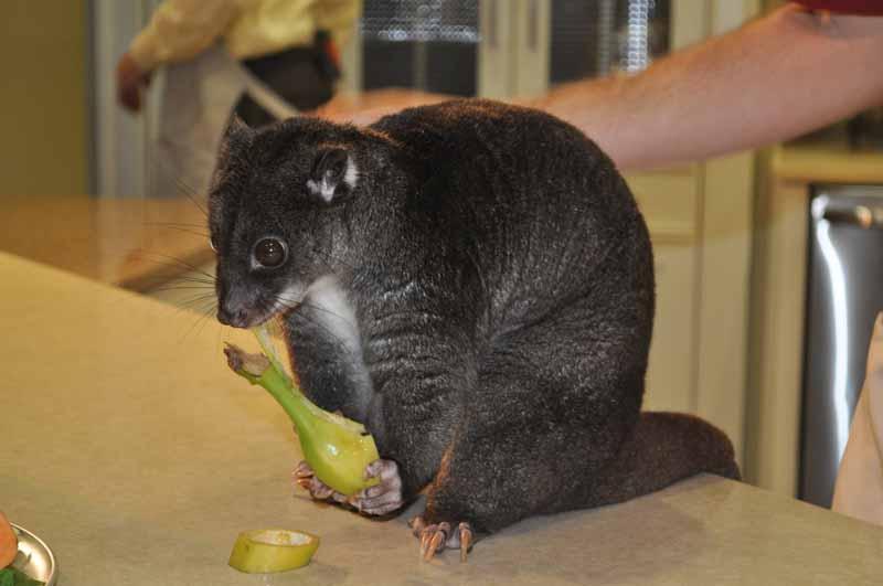 cuscus eating banana