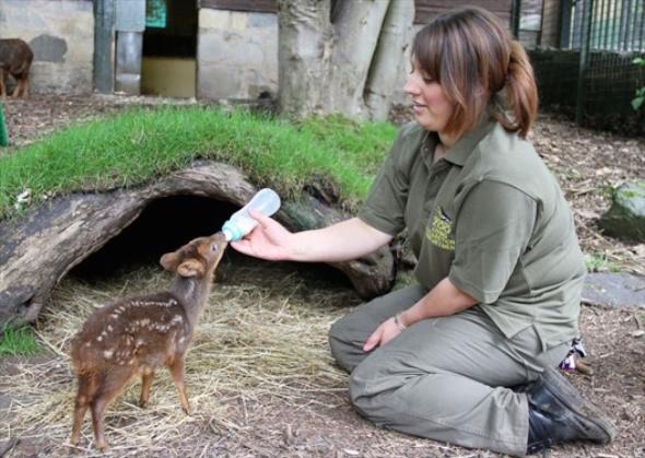 Endinburgh Zoo Pudu