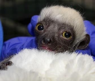 Lupicina, a Coquerel's Sifaka lemur, was born last month at the Duke Lemur Center.