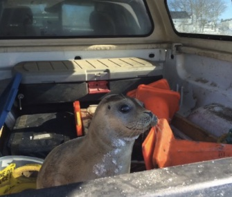 The Royal Canadian Mounted Police gave this seal pup a lift back to the sea in a police truck.