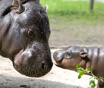 The newborn calf hangs out with his mom at the Krakow Zoo.