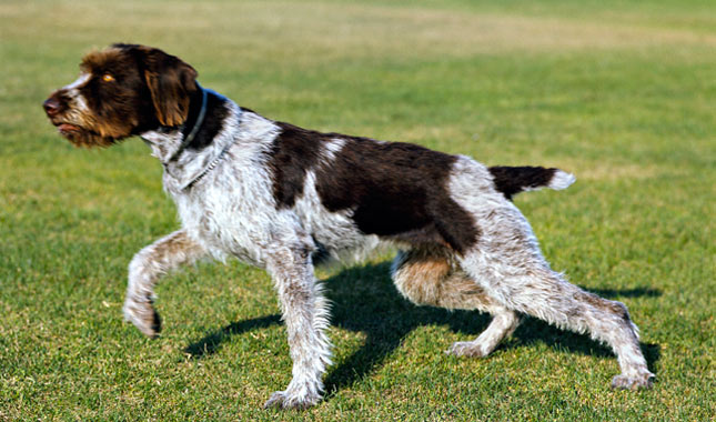 German Wirehaired Pointer German Wirehaired Pointer German Wirehaired Pointer Training Videos