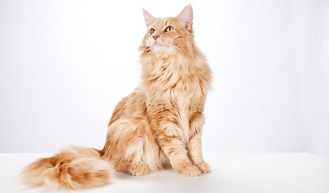 How To Find Your Cat S Breed