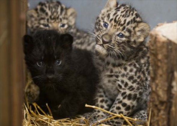 Amur Leopard cubs born at the Prague Zoo