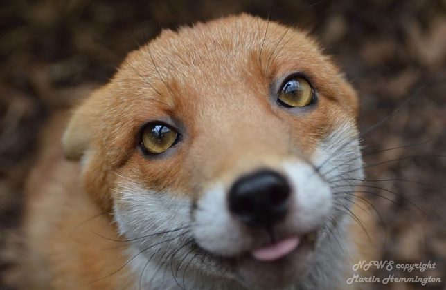 Pudding the fox