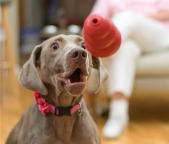 Dog playing with Kong