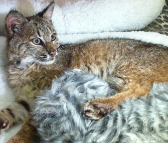rescued bobcat with blanket