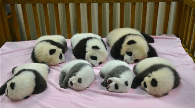 China's celebrating the births of eight panda cubs, including these seven who were born at the Chengdu Panda Base.