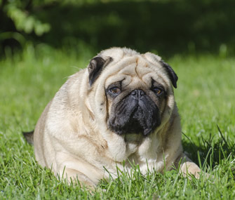 Obese cats and dogs run a high risk of developing illnesses