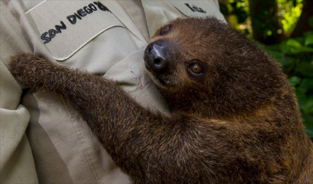 A 5-month-old two-toed sloth hangs on to one of her keepers at the San Diego Zoo.