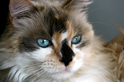 Close up of Calico cat with blue eyes