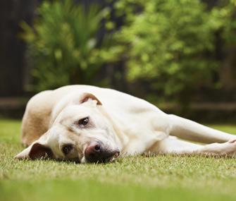 Sad dog lying in yard