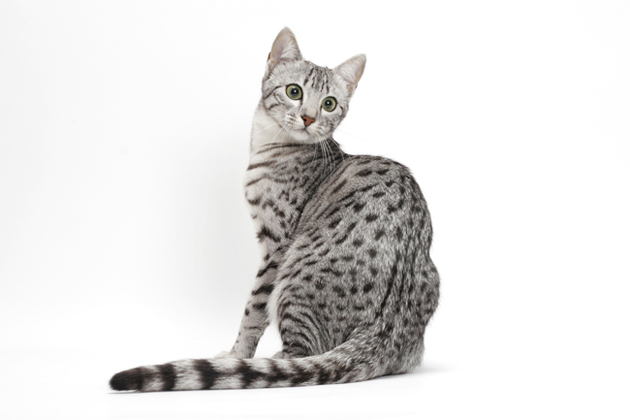 Egyptian Mau — Outgoing and Exotic