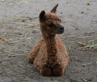 A baby alpaca was welcomed at the Children's Zoo at Celebration Square in Michigan.