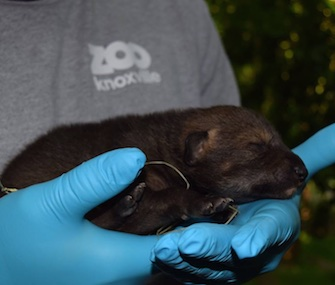 A critically endangered red wolf pup was born at Zoo Knoxville.