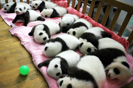 Baby pandas in a crib in China
