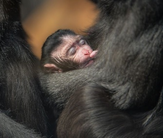 A rare macaque cuddles with its mom at the Chester Zoo in England.