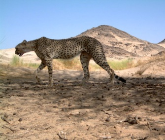 This rare image of a Saharan cheetah was snapped by a camera trap in Algeria.