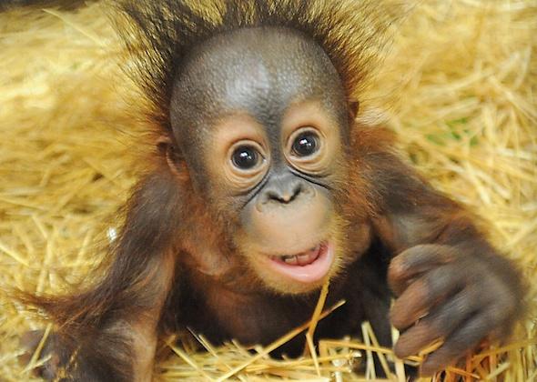 orangutan at Brookfield Zoo