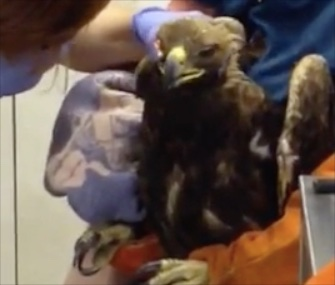 Firefighters in California rescued an injured golden eagle they found on a sidewalk.