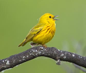 Yellow songbird singing