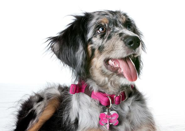 Aussiedoodle dog