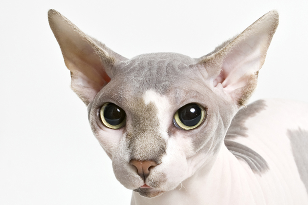 Sphynx  Clownish and Curious