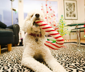 Dog chewing candy cane toy