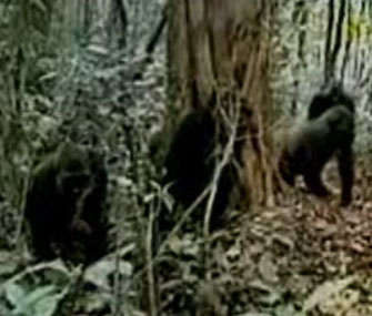 Rare Cross River Gorillas