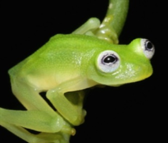 A new glass frog species found in Costa Rica is drawing comparisons to Kermit.