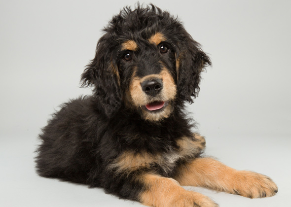 Bach, Bernese Mountain Dog Poodle, Animal Planet Puppy Bowl X