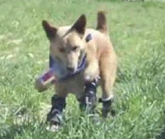 Naki'o can run again thanks to his four prosthetic paws.