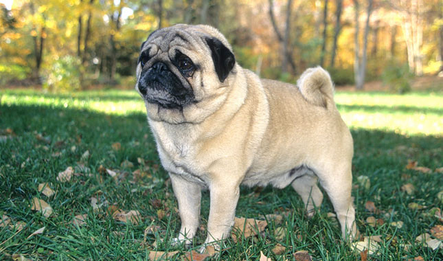 Are Pugs Good With Other Big Dogs