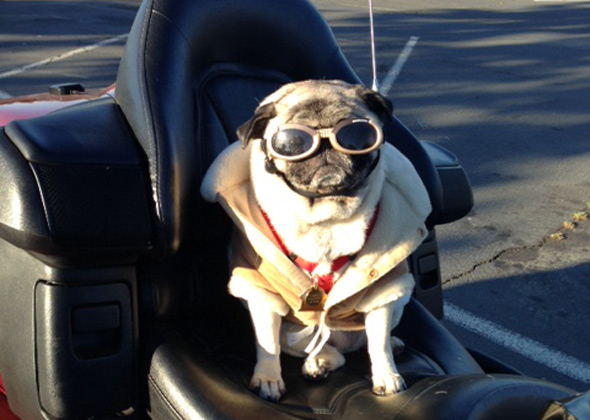 Emma the Pug in doggles