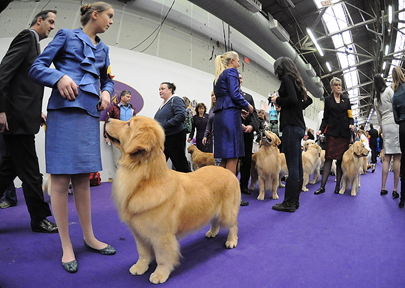 Goldens at Ring