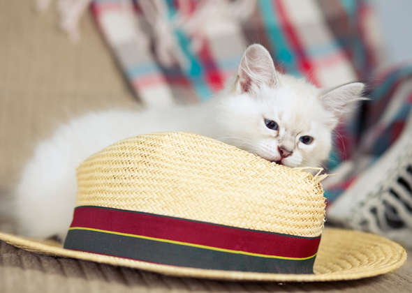 Kitten eating straw hat