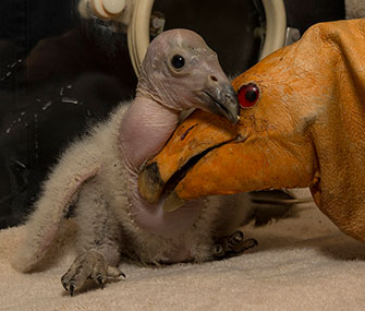 Wesa, a condor chick, is being raised with the help of a hand puppet.
