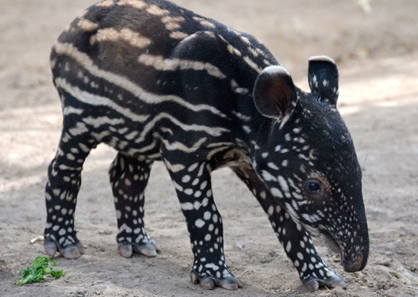 Baby tapir at the Denver Zoo