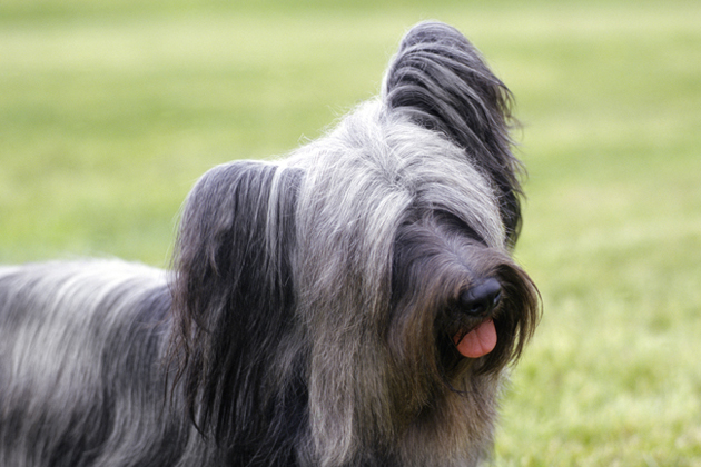 Skye Terrier — Easily Adaptable Couch Cuddler