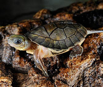 Chinese yellow headed box turtle