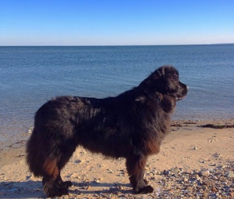 Veda, a Newfoundland, is credited with saving the life of a loggerhead sea turtle she found stranded on a Massachusetts beach.