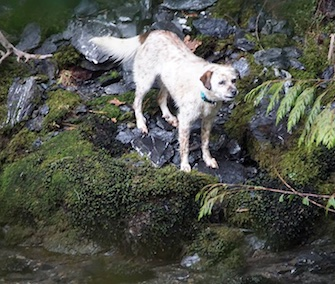 A dog stranded on the other side of a rushing river in Washington was rescued by two volunteer teams on Saturday.