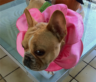 Vincent the French Bulldog