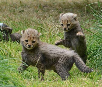Seven cheetahs born at Allwetterzoo Münster