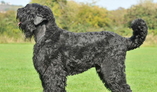 Black Russian Terrier Breed Information Black Russian Terrier