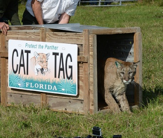 Once her crate was opened, the rehabilitated panther took a quick look around before taking off like a shot.