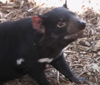 The San Diego Zoo becomes the first U.S. zoo to have Tasmanian devils.