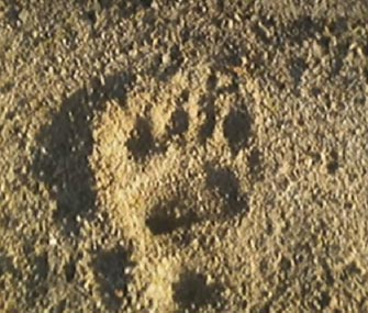 Police took this photo of a bear's paw print in the sand on Cape Cod.