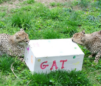 Lita and Gat open a birthday present at the National Zoo.